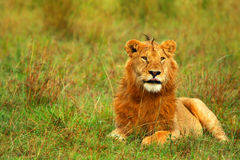 Portrait of young wild african lion Stock Photo