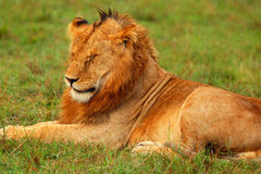 Portrait of young wild african lion Stock Photos