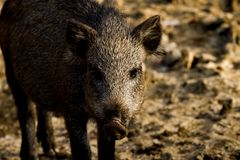 Portrait of young wild boar stock photos