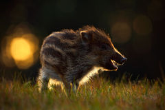Portrait of young Wild boar, Sus scrofa, in the grass with evening back light, red autumn forest in background, animal in the gras Royalty Free Stock Images