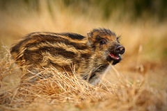 Portrait of young Wild boar, Sus scrofa, running in the grass meadow, red autumn forest in background, animal in the grass habitat Royalty Free Stock Photo