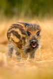 Portrait of young Wild boar, Sus scrofa, running in the grass meadow, red autumn forest in background, animal in the grass habitat Stock Photography