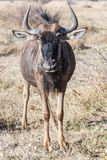 Portrait of a young wildebeest Royalty Free Stock Photography