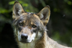 Portrait of young wolf. In the woods of France Royalty Free Stock Images