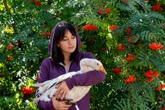 Portrait of a young woman with a feathered friend white goose against rowan with orange berries. Waist up portrait of a young woman with a feathered friend white stock image