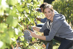 Portrait of young woman harvester of grapes Royalty Free Stock Photo