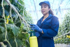 Plantation Worker Spray Treating Plants. Portrait of young woman working in greenhouse on vegetable plantation and spray treating cucumbers, copy space stock photos