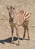 Portrait of a Young Zebra. With brown stripes standing in a hot summer day stock images