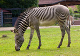 Portrait of a young zebra Royalty Free Stock Images