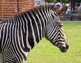 Portrait of a young zebra Stock Photography