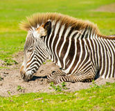 Young zebra portrait Royalty Free Stock Image