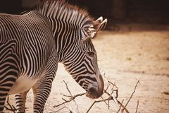 Portrait of a young zebra Royalty Free Stock Photography