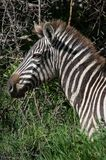 Portrait of a zebra. Stock Photo