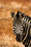Portrait of a zebra. The shot was taken in the Kruger Park, South Africa Royalty Free Stock Photography