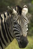 Portrait of a zebra. A Portrait of a zebra Royalty Free Stock Images