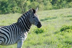 Portrait of a Zebra Stock Images