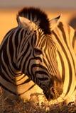 Portrait of zebra Stock Images