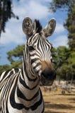 Portrait of a zebra Stock Image