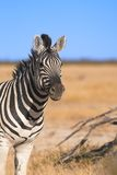 Portrait of a zebra. The shot was taken in the Etosha Park, Namibia Royalty Free Stock Photo