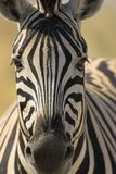 Portrait of a zebra Stock Photo