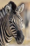 Portrait of a zebra Royalty Free Stock Image