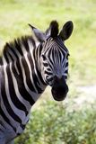 Portrait of zebra. Side portrait of zebra looking over shoulder, green grass in background Royalty Free Stock Photography