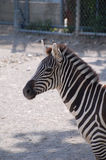 Portrait of zebra Stock Images