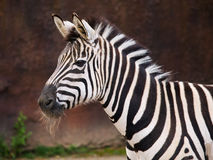 Portrait of Zebra Royalty Free Stock Images