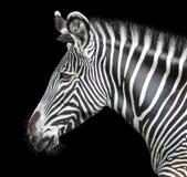 Portrait of zebra. On background Royalty Free Stock Photography