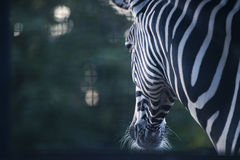 Portrait of zebra on background Stock Images