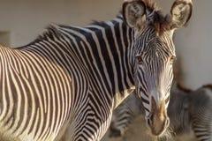 Portrait of a beautiful zebra royalty free stock photo