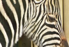 Portrait of the Zebra stock photography