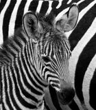 Portrait of a zebra. Close-up. Kenya. Tanzania. National Park. Serengeti. Maasai Mara. Stock Photography