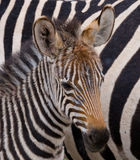 Portrait of a zebra. Close-up. Kenya. Tanzania. National Park. Serengeti. Maasai Mara. Royalty Free Stock Photography
