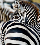 Portrait of a zebra. Close-up. Kenya. Tanzania. National Park. Serengeti. Maasai Mara. Royalty Free Stock Photo