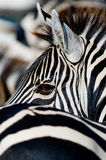 Portrait of a zebra. Close-up. Kenya. Tanzania. National Park. Serengeti. Maasai Mara. Stock Photos
