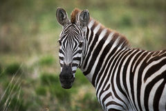 Portrait of a zebra. Close-up. Kenya. Tanzania. National Park. Serengeti. Maasai Mara. Royalty Free Stock Photos