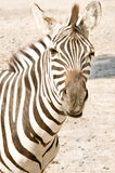 Portrait of a zebra Royalty Free Stock Photos