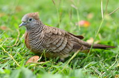 Portrait Of A Zebra Dove On Some Grass Royalty Free Stock Photo