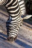 Portrait of a zebra eats close Stock Images
