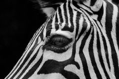 Portrait of zebra face Royalty Free Stock Photos