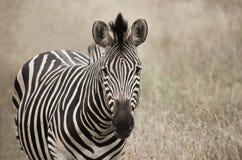 Portrait of zebra in a field Stock Image