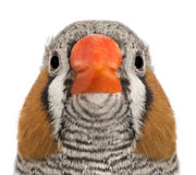 Portrait of Zebra Finch, Taeniopygia guttata Stock Photo