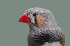 Portrait of zebra finch Stock Photo