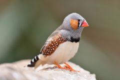 Zebra finch taeniopygia guttata. Portrait of a zebra finch taeniopygia guttata perching on a branch royalty free stock photography