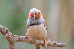 Zebra finch taeniopygia guttata. Portrait of a zebra finch taeniopygia guttata perching on a branch royalty free stock images