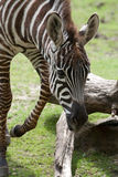 Portrait of a Zebra foal Royalty Free Stock Images