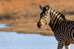 Portrait of a zebra in golden light royalty free stock images