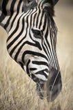 Portrait of a zebra Stock Images