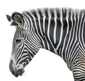 Portrait of zebra Royalty Free Stock Photography